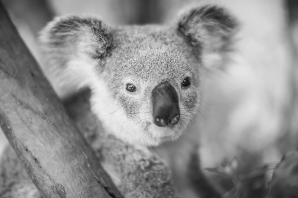 Koala「Behind The Scenes At Sydney Zoo」:写真・画像(19)[壁紙.com]