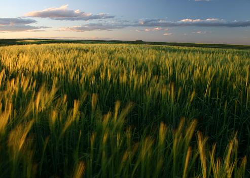 Rolling Landscape「Ripening Green Wheat Field on the Great Plains」:スマホ壁紙(2)