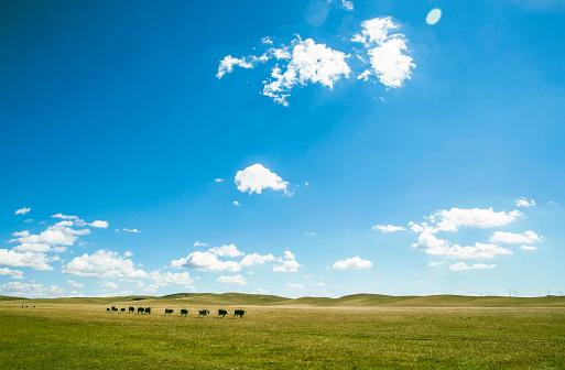 放牧地「日当たりの良い牧草地に牛が放牧されて」:スマホ壁紙(3)
