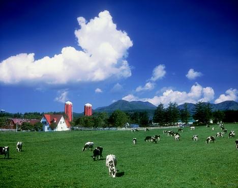 Cattle「Cattle grazing in a field with farmhouse in the background. Hokkaido, Japan」:スマホ壁紙(19)