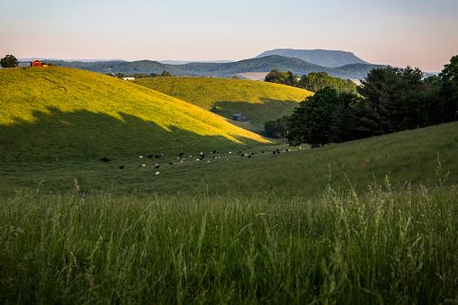 Carefree「Cattle grazing on grass at dawn, Lexington, Virginia, USA」:スマホ壁紙(9)