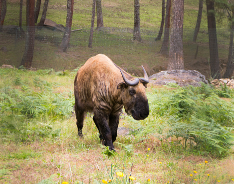 Himalayas「The Unique Takin The National Animal of Bhutan.」:スマホ壁紙(9)
