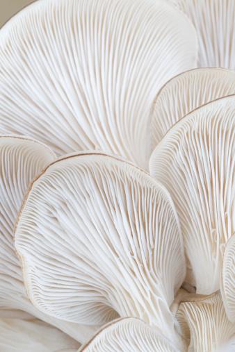 ヒラタケ「マクロのヒラタケ gills (Pleurotus」:スマホ壁紙(3)