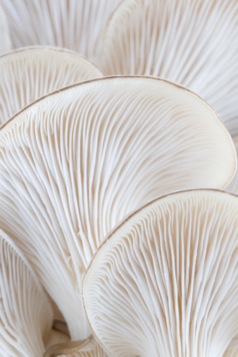 Low Section「Macro of oyster mushroom gills (Pleurotus)」:スマホ壁紙(17)