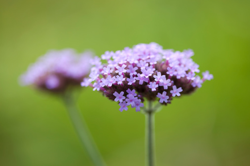Vervain「Purpletop Vervain,  Verbena bonariensis」:スマホ壁紙(19)