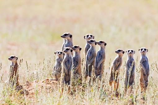 Carnivora「Botswana, Kgalagadi Transfrontier Park, Kalahari, Meerkats, Suricata suricatta」:スマホ壁紙(11)