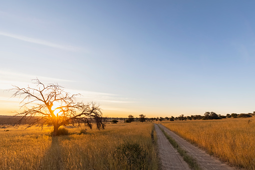 Back Lit「Botswana, Kgalagadi Transfrontier Park, Kalahari, gravel road and camelthorns at sunset」:スマホ壁紙(13)