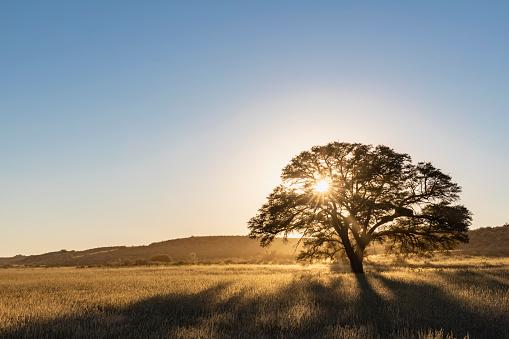Rolling Landscape「Botswana, Kgalagadi Transfrontier Park, Kalahari, camelthorn at sunrise」:スマホ壁紙(9)