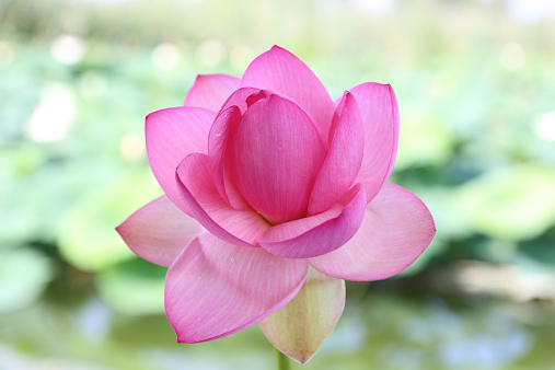 Water Lily「Lotus flower, Mincio Park, Mantova」:スマホ壁紙(4)