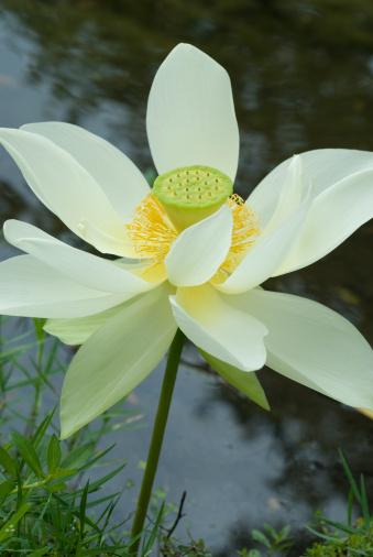 Lotus Water Lily「Lotus Flower」:スマホ壁紙(17)