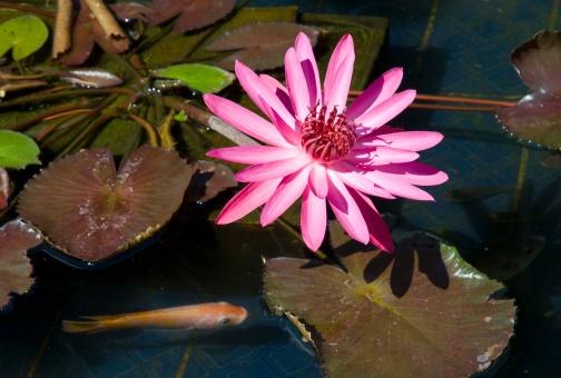 Carp「Lotus flower and lily pads on goldfish pond」:スマホ壁紙(10)