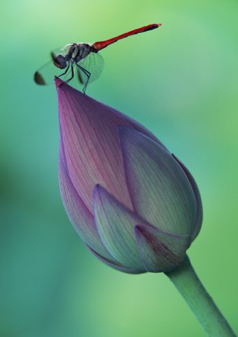 Lotus Water Lily「Lotus flower bud and a dragonfly」:スマホ壁紙(3)