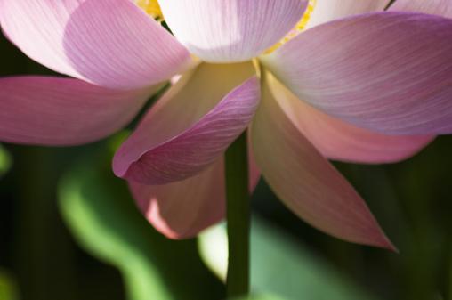 Lotus Water Lily「Lotus flower, close-up」:スマホ壁紙(12)