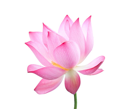 Extreme Close-Up「Lotus flower」:スマホ壁紙(6)