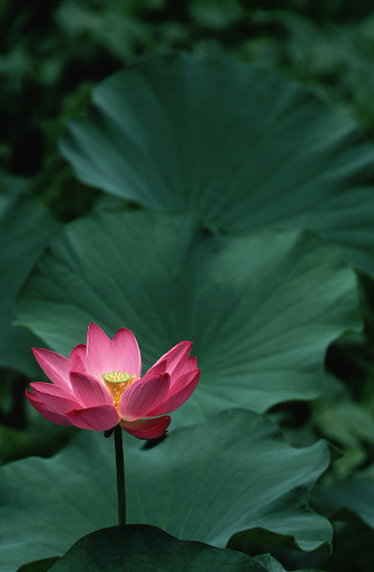 Water Lily「Lotus Flower and Green Leaves」:スマホ壁紙(4)