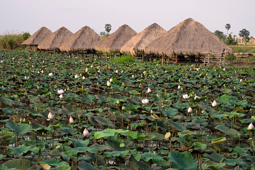 花「Lotus Flower farm, Cambodia」:スマホ壁紙(0)