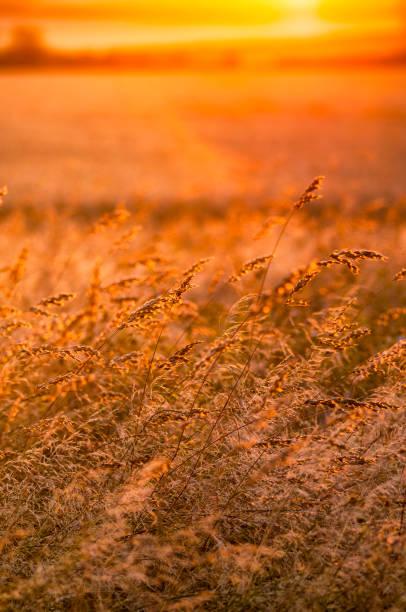 Great Britain, Scotland, East Lothian, wild grasses backlit by the sun at sunset:スマホ壁紙(壁紙.com)