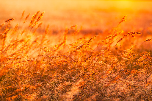 East Lothian「Great Britain, Scotland, East Lothian, wild grasses backlit by the sun at sunset」:スマホ壁紙(11)