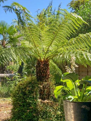 Frond「Dicksonia Antarctica free fern in domestic garden」:スマホ壁紙(3)