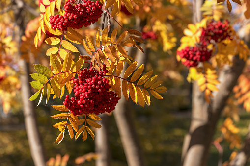 Rowan Tree「Clusters of red berries on a mountain ash (Sorbus aucuparia) tree in autumn」:スマホ壁紙(17)