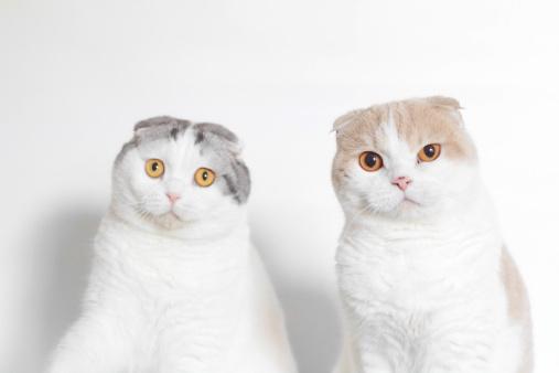 Scottish Fold Cat「Studio shot of two Scottish folds looking puzzled」:スマホ壁紙(0)