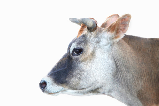Horned「Studio shot of a Cow smiling on white background」:スマホ壁紙(5)
