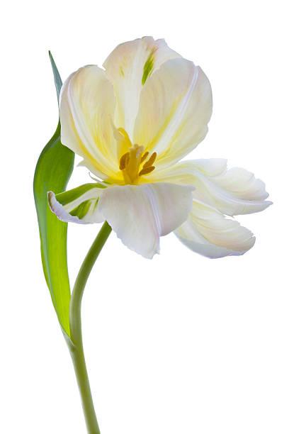 Studio shot of a White Tulip on a white background:スマホ壁紙(壁紙.com)