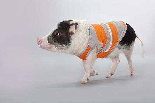 Domestic Pig「studio shot of a pig wearing a shirt walking happy」:スマホ壁紙(10)