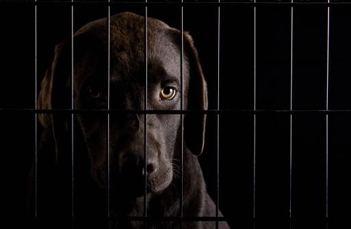 Headshot「Studio shot of Chocolate labrador in cage」:スマホ壁紙(11)