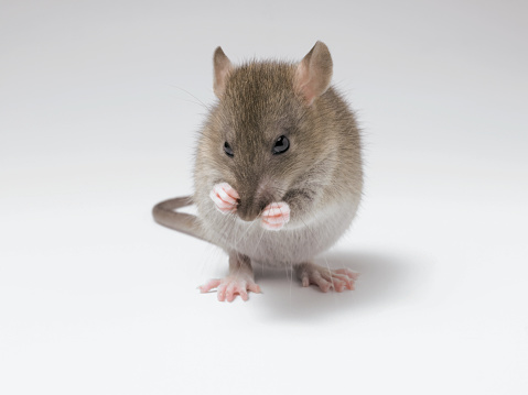 Grooming - Animal Behavior「Studio Shot of a Whispering Rat」:スマホ壁紙(19)