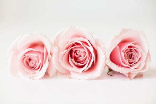 Pink Color「Studio shot of pink roses」:スマホ壁紙(18)