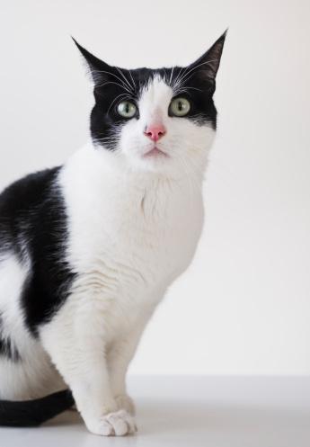 黒猫「Studio shot of black and white cat」:スマホ壁紙(14)