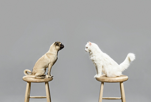 Pets「Studio shot of cat and dog looking at each other」:スマホ壁紙(1)