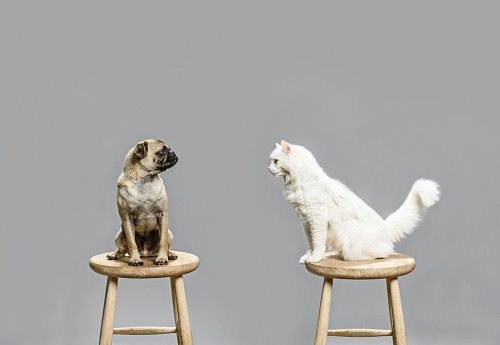 Curiosity「Studio shot of cat and dog looking at each other」:スマホ壁紙(9)