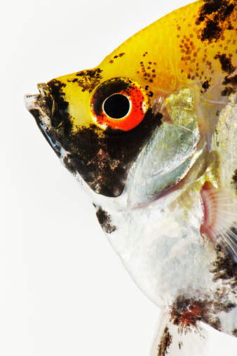 Carp「Studio shot of koi angelfish」:スマホ壁紙(0)