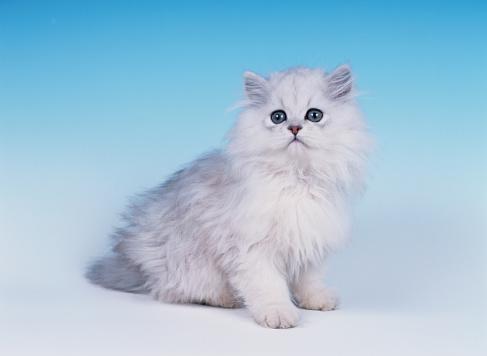 Kitten「Studio Shot of Persian Chinchilla Cat」:スマホ壁紙(17)