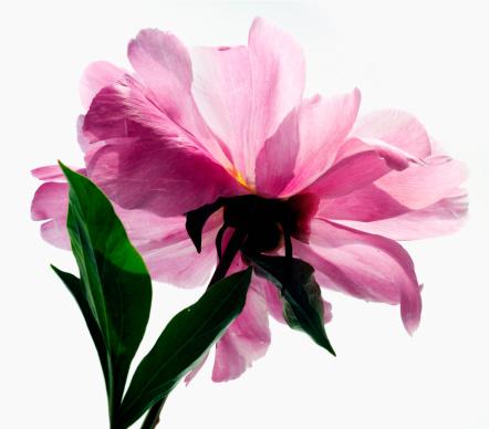 一輪の花「Studio Shot of pink peony」:スマホ壁紙(12)