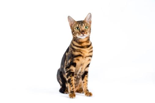 ベンガル猫「Studio shot of a blotched Bengal cat」:スマホ壁紙(7)