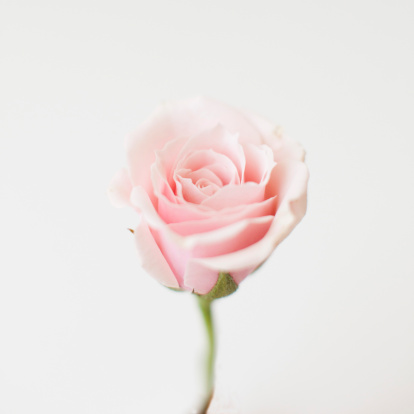 Blossom「Studio shot of pink rose」:スマホ壁紙(7)