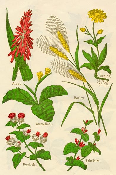 静物「Flowers: Aloes, Arnica, Arrow Root, Barley, Balm Mint, Burdock, c1940.」:写真・画像(8)[壁紙.com]