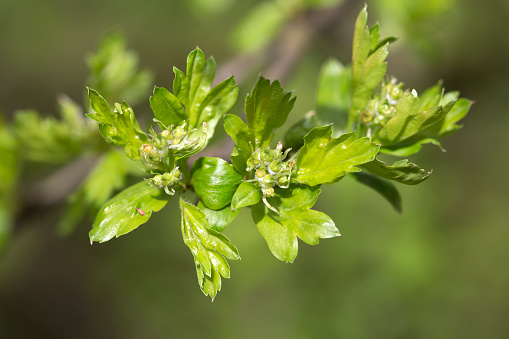 Hawthorn「Sprouting leaves and buds of Hawthorn.」:スマホ壁紙(16)