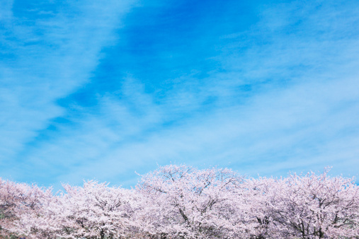 桜「Blue Sky Over Cherry Blossom Trees」:スマホ壁紙(4)