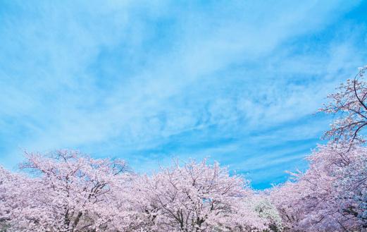 桜「Blue Sky Over Cherry Blossom Trees」:スマホ壁紙(3)