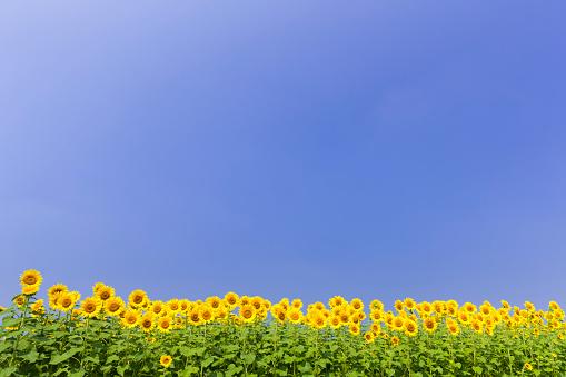 ひまわり「Blue sky over sunflowers」:スマホ壁紙(6)