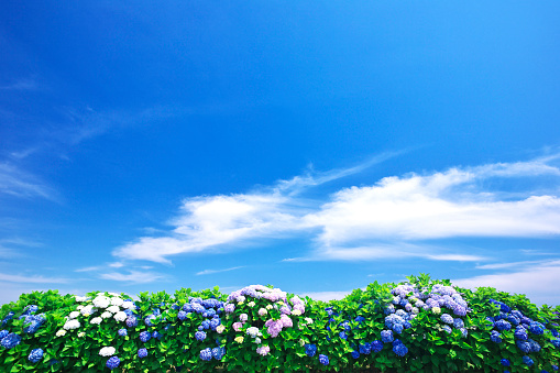 神奈川県「Blue Sky Over Hydrangea Flowers」:スマホ壁紙(2)