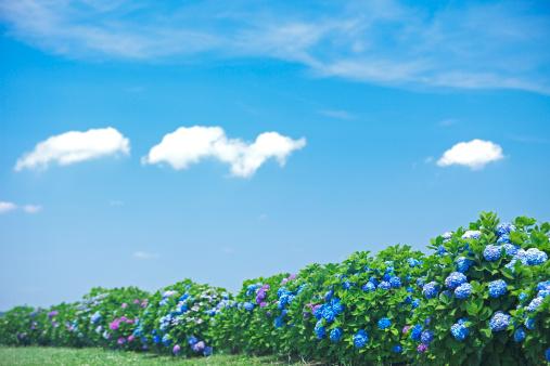 あじさい「Blue Sky Over Hydrangea Flowers」:スマホ壁紙(16)