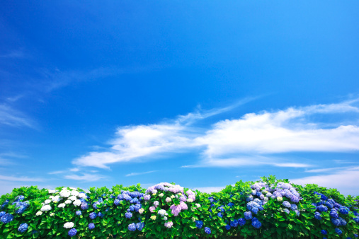アジサイ「Blue Sky Over Hydrangea Flowers」:スマホ壁紙(10)