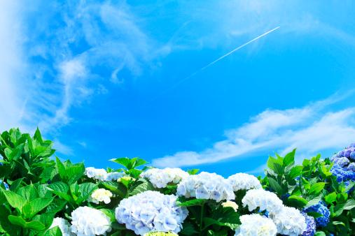 あじさい「Blue Sky Over Hydrangea Flowers」:スマホ壁紙(10)
