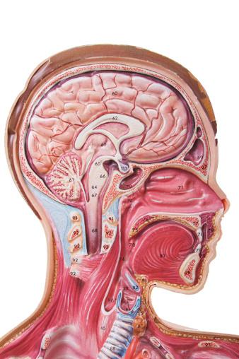 Human Body Part「Human Head Anatomy Visual Aid」:スマホ壁紙(17)