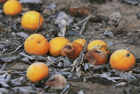 Orange - Fruit「Cold Snap Endangers California Citrus Crop」:写真・画像(7)[壁紙.com]